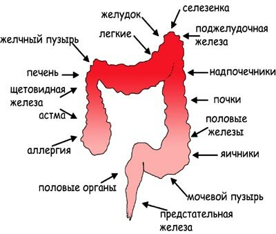 Взаимодействие толстого кишечника с органами организма
