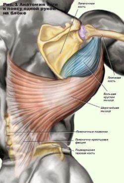 Анатомия тяги к поясу одной рукой на блоке