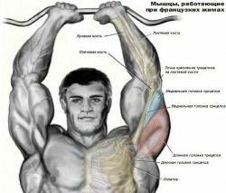 мышцы работающие при французких жимах