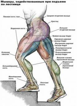 Мышцы, задействованные при подъеме по лестнице