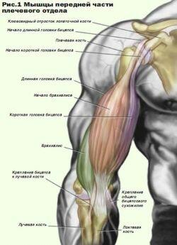 Мышцы передней части плечевого отдела