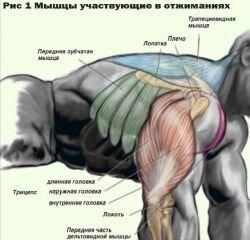 Мышцы участвующие в отжиманиях