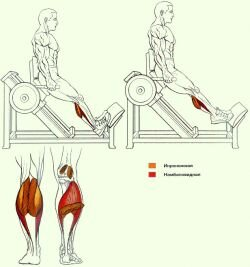 Работа мышц и суставов во время Подъемов на носки под углом 45 градусов